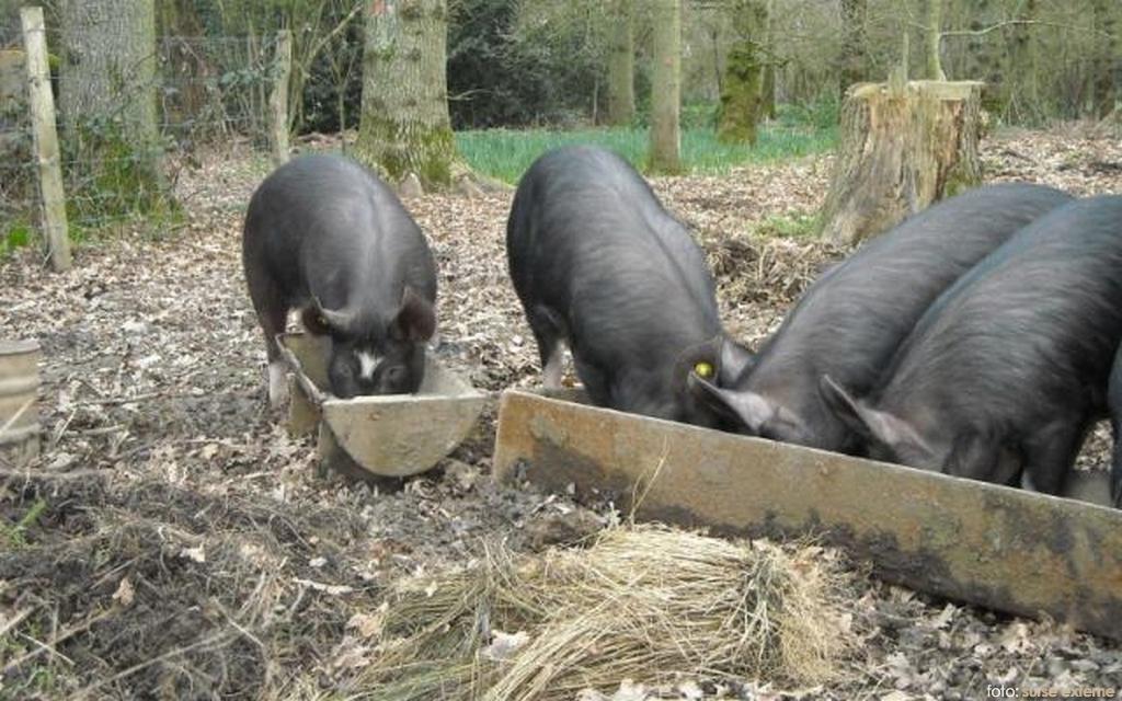 focar-de-pesta-porcina-africana-i