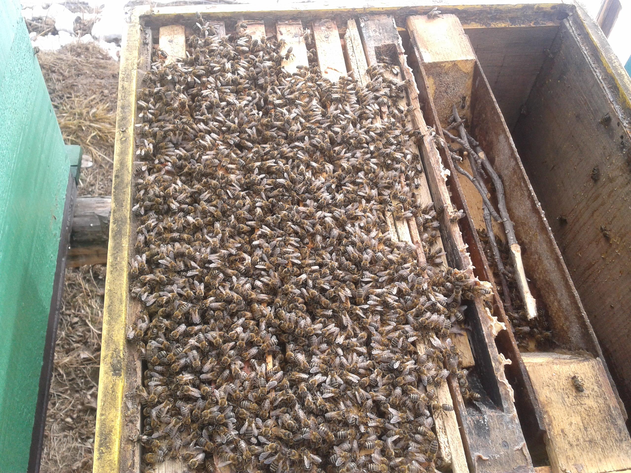 apicultura-familie-de-albine-iarna