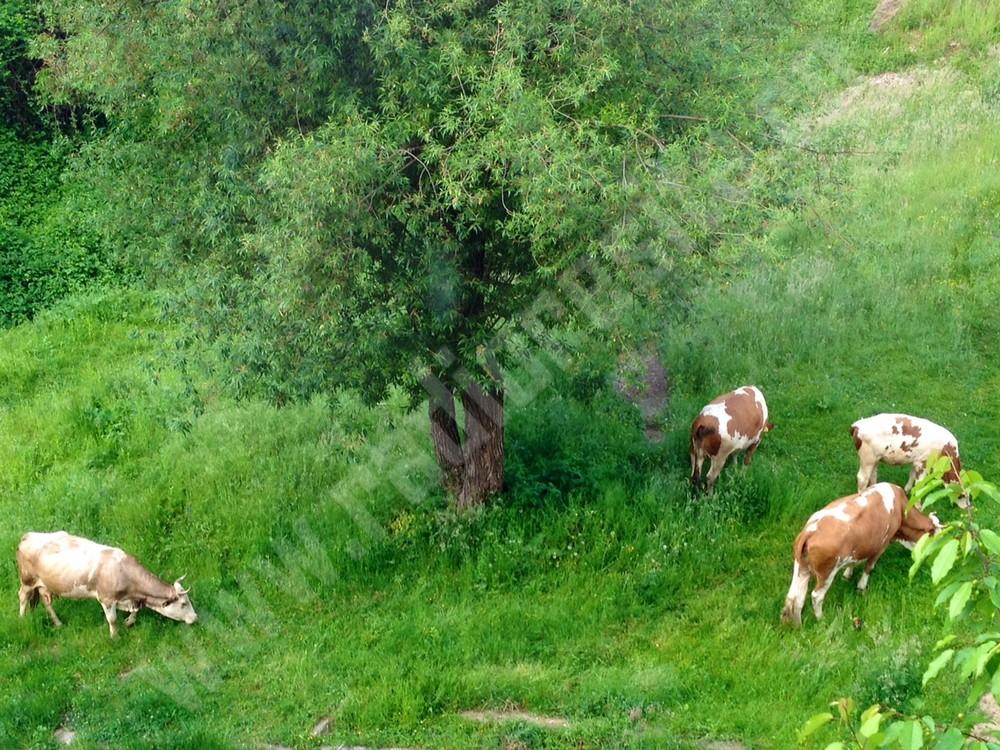 turma vaci